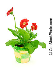 gerbera in a pot