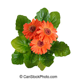 Gerbera isolated on white background.