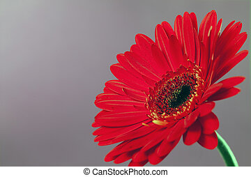 Gerbera on a gray background