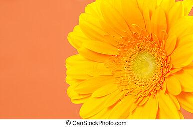 Gerbera on a orange background