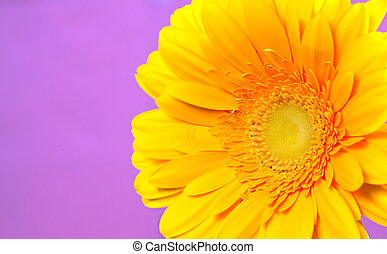 Gerbera on a violet background