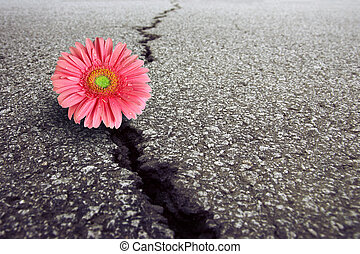Gerbera on Asphalt