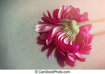 Gerbera pink on a mirror blurred background.