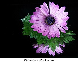 Gerbera Reflection - Purple gerbera daisy reflected in a...