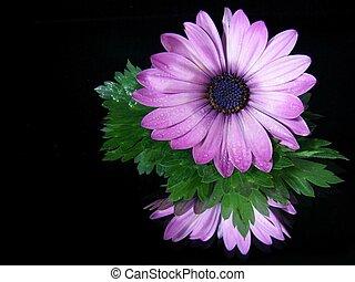 Gerbera Reflection - Purple gerbera daisy reflected in a...