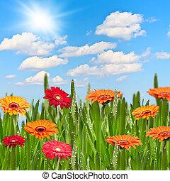 gerberas, 에서, a, 목초지, 통하고 있는, a, 화창한 날