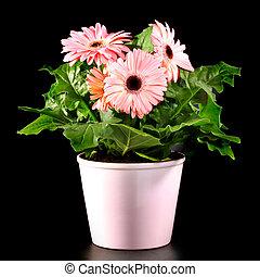 gerber's, bloemen, in, een, bloempot, vrijstaand, op, een, black , achtergrond.