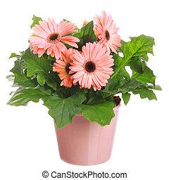 gerber's, bloemen, in, een, bloempot, vrijstaand, op, een, witte , achtergrond.