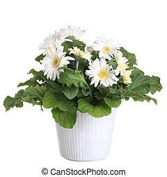 gerber's, flores, en, un, maceta, aislado, en, un, blanco,...