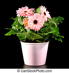 Gerber's  flowers in a flowerpot isolated on a black background.