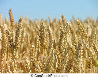 gereed, koren, oogsten