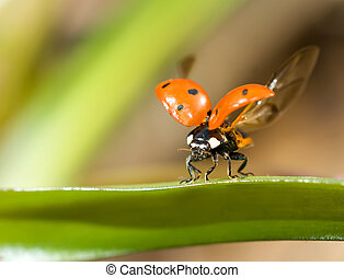 gereed, lieveheersbeest, fly., closeup