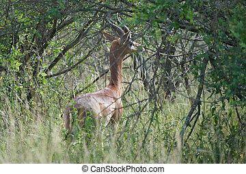 Gerenuk Litocranius walleri giraffe gazelle antelope Amboseli