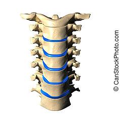 gerinc, nyaki, -, kilátás, elülső