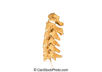 gerinc, nyaki, mesterséges, emberi