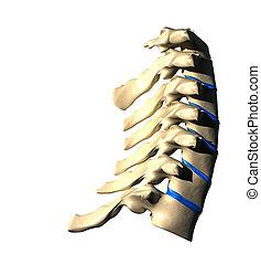 gerinc, nyaki, -, szegély kilátás