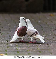 Gerle, galamb, két, szerető