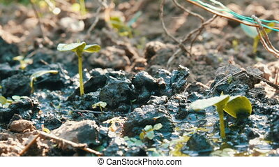 Germ of a newly grown plant in the ground that is watered...