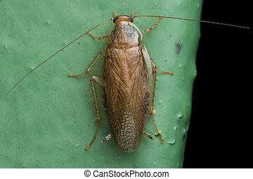 German cockroach (Blattella germanica) Ectobidae