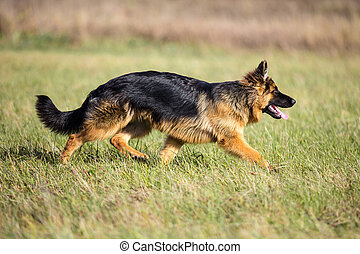 German long-haired shepherd dog running on green grass