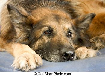 German sheepdog portrait - Portrait of old german dog
