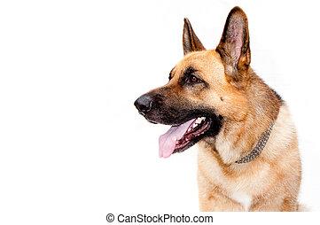 German shepard dog portrait on white background