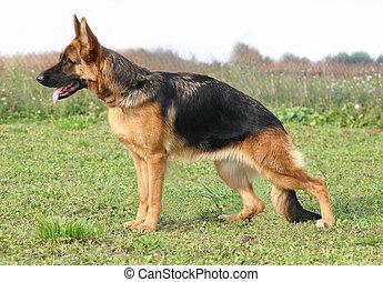 german sheperd up - purebreed german shepherd