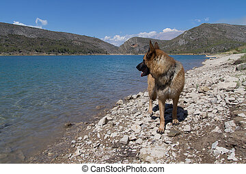 German Shepherd - A German Sheperd at a lake.