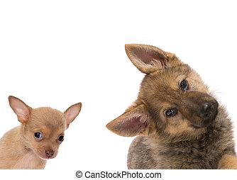 German shepherd and chichuahua puppy