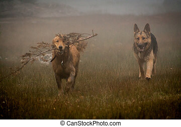 German shepherd and Golden Retriever playing in the fog