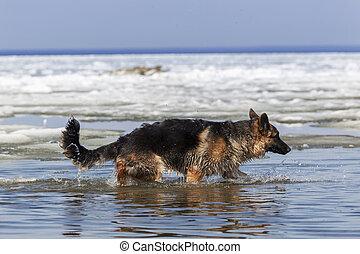 German Shepherd at the Spring Lake Baikal