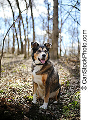 German Shepherd Border Collie Mix Breed Dog sitting in Forest