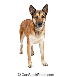 German Shepherd Crossbreed Dog Sad Expression