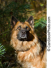 German shepherd (dog) 3