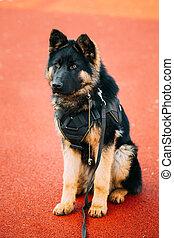 German Shepherd Dog. Alsatian Wolf Dog