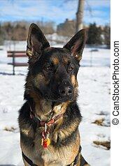 German Shepherd dog at play.