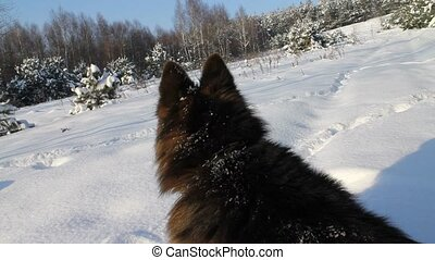 German Shepherd Dog at winter.