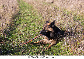 German shepherd dog chewing on a stick