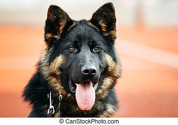 German Shepherd Dog Close Up. Alsatian Wolf Dog