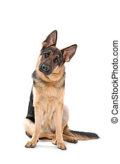 German shepherd dog - Cute german shepherd dog sitting an...