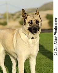 German Shepherd Dog (fawn)