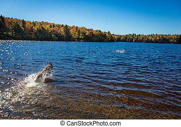 German Shepherd dog fetching a stick in the lake