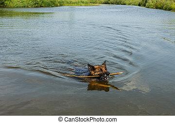German shepherd dog floats on the river.