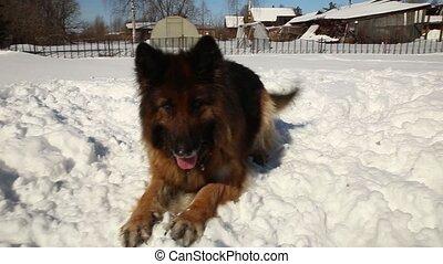 german shepherd dog - German Shepherd dog on the ground at...
