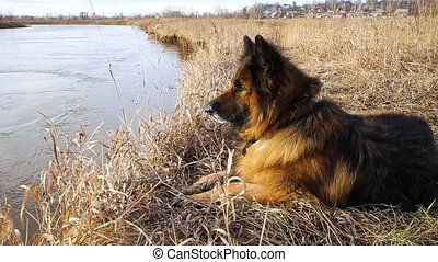 German shepherd looks at the water in the river. The dog lies on the shore.