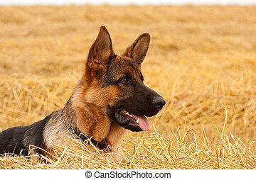 German Shepherd dog - German Shepherd playing in the field