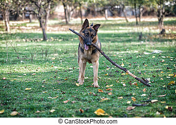 German Shepherd Dog Holding A Stick