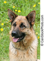 German Shepherd Dog in a garden