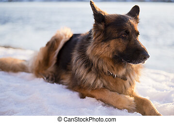 German shepherd dog in a snowdrift