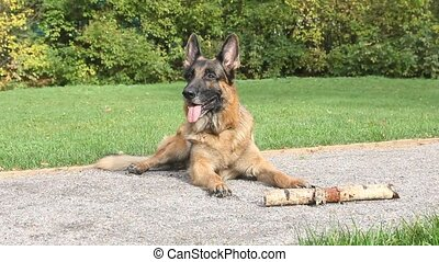 German shepherd dog in park. Close up